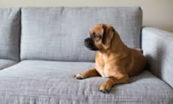 Dog sitting on Clean couch