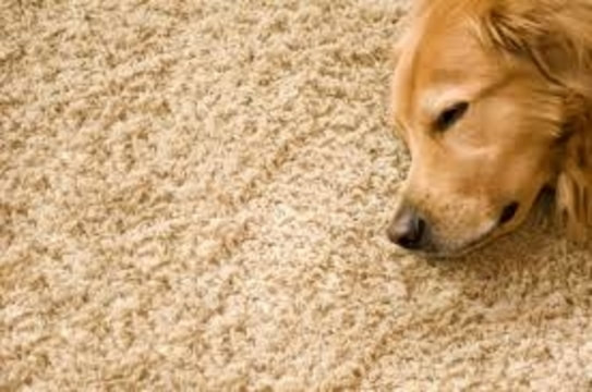 Dog Sleeping on Clean carpet